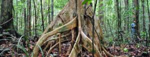maca root -