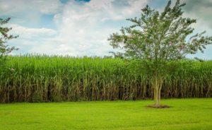 Cane Sugar Field